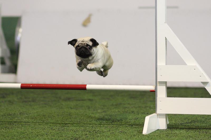 Ming hyppää. Kuva on otettu aikaisemmin treeneissä.