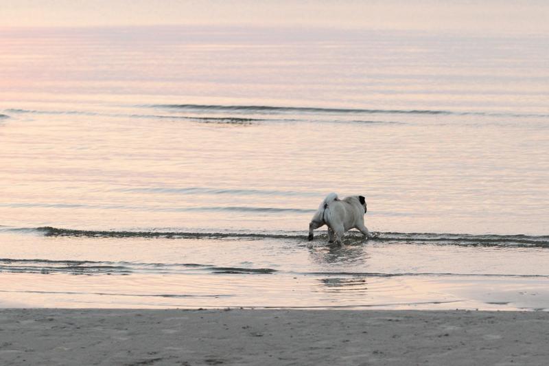 Ming heittää talviturkkia Itämereen Jurmalassa.