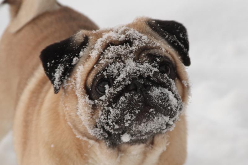 Tinkerin mielestä parasta talvessa lienee lumipallot. Se jaksaisi juosta niiden perässä vaikka kuinka pitkään, vaikka ei muuten mikään pallohullu olekaan. Joulupäivänä oli sen verran pakkasta että lenkille ei päästy, mutta muutama lumipallo käytiin takapihalla heittelemässä.